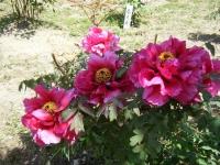花と泉の公園・牡丹園043