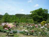 花と泉の公園・牡丹園046