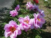 花と泉の公園・牡丹園047