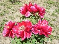 花と泉の公園・牡丹園048