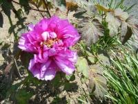 花と泉の公園・牡丹園049