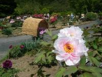 花と泉の公園・牡丹園050
