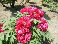 花と泉の公園・牡丹園051