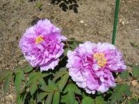 花と泉の公園・牡丹園052