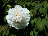 花と泉の公園・牡丹園053