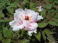 花と泉の公園・牡丹園055