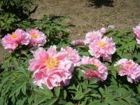 花と泉の公園・牡丹園056