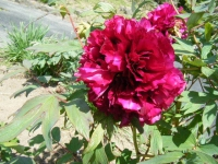 花と泉の公園・牡丹園057