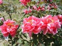花と泉の公園・牡丹園060