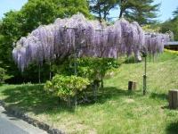 花と泉の公園・牡丹園061