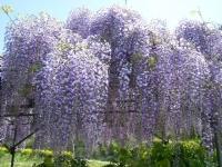 花と泉の公園・牡丹園062