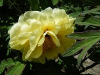 花と泉の公園・牡丹園063