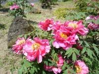 花と泉の公園・牡丹園064