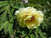 花と泉の公園・牡丹園066