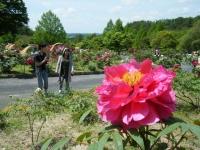 花と泉の公園・牡丹園067