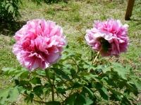 花と泉の公園・牡丹園068
