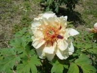 花と泉の公園・牡丹園069