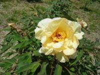 花と泉の公園・牡丹園070