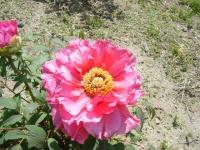 花と泉の公園・牡丹園071