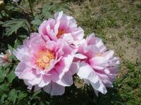 花と泉の公園・牡丹園072
