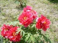 花と泉の公園・牡丹園073