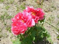 花と泉の公園・牡丹園075