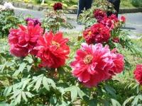 花と泉の公園・牡丹園076