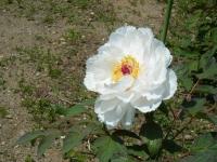 花と泉の公園・牡丹園077