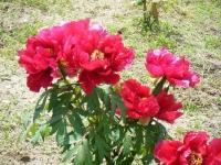 花と泉の公園・牡丹園078