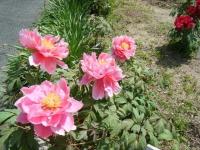花と泉の公園・牡丹園079