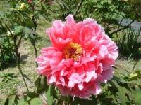 花と泉の公園・牡丹園081