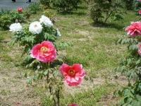 花と泉の公園・牡丹園083