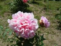 花と泉の公園・牡丹園084