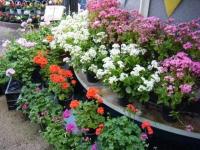 2019-05-18花と泉の公園ベゴニア館077