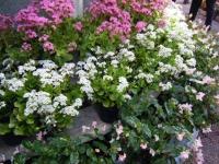 2019-05-18花と泉の公園ベゴニア館078