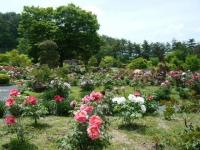 花と泉の公園・牡丹園085