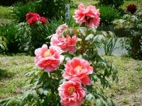 花と泉の公園・牡丹園086