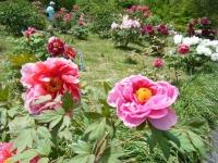 花と泉の公園・牡丹園087
