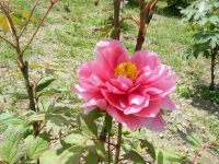 花と泉の公園・牡丹園088