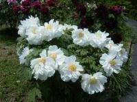 花と泉の公園・牡丹園090