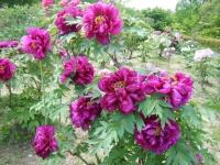 花と泉の公園・牡丹園091