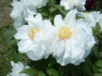 花と泉の公園・牡丹園092