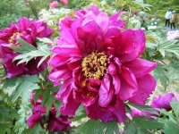 花と泉の公園・牡丹園093