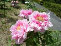 花と泉の公園・牡丹園094