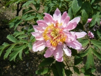 花と泉の公園・牡丹園095