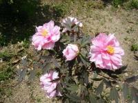 花と泉の公園・牡丹園096