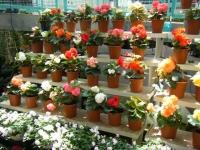 2019-05-18花と泉の公園ベゴニア館092