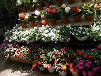 2019-05-18花と泉の公園ベゴニア館093