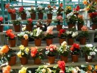 2019-05-18花と泉の公園ベゴニア館094