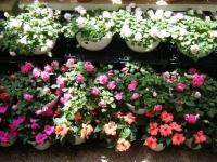 2019-05-18花と泉の公園ベゴニア館095